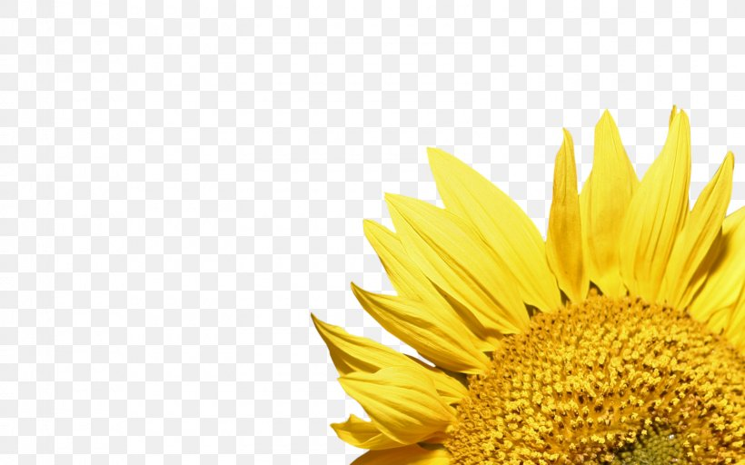 Common Sunflower Wallpaper, PNG
