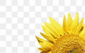 Sunflower - Common Sunflower Wallpaper PNG