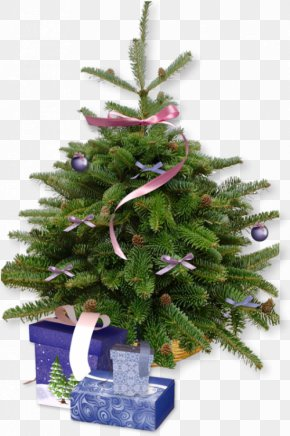 Real Christmas Tree - Christmas Tree Cultivation Pine PNG