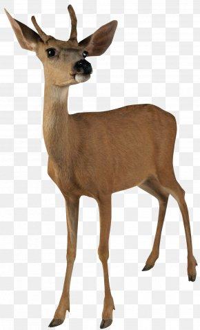 Deer Image - Deer Clip Art PNG
