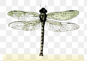 Dragonfly Specimens - Insect Butterfly Dragonfly Bee PNG