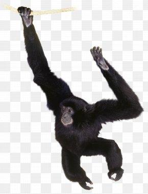 Orangutan - Gorilla Common Chimpanzee Gibbon Primate Orangutan PNG