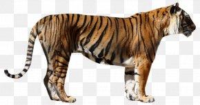 Tiger - Tiger Big Cat Fur Wildlife PNG