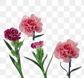 Flower Festival - Carnation Flower Mother's Day PNG