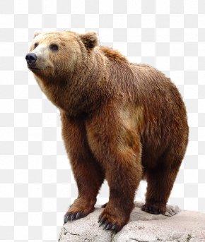Bear - Brown Bear PNG