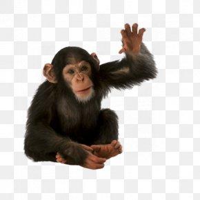 Monkey - Orangutan Chimpanzee Monkey PNG