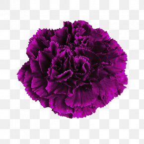 Deep Purple Carnation Flowers - Carnation Pink Flower Purple Color PNG