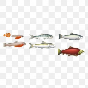Marine Fish Illustration - Chinook Salmon Biological Life Cycle Atlantic Salmon PNG