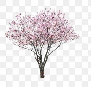 Cherry Blossom Watercolor - Prunus Serrulata Stock Photography Cherry Blossom PNG