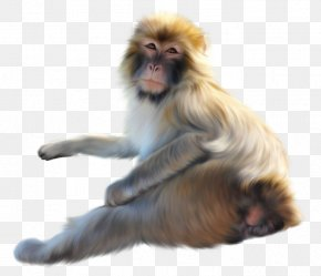 Old World Monkey Macaque - Lion Drawing PNG