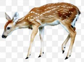 Deer - White-tailed Deer Watercolor Painting Moose Reindeer PNG