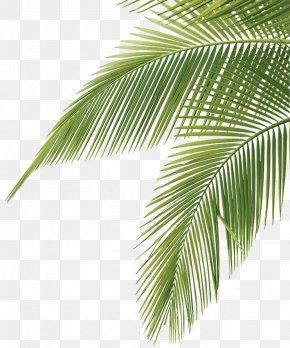 Coconut Leaves Green - Arecaceae Leaf Frond Clip Art PNG