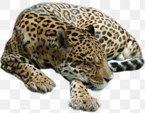 Cheetah - Cheetah Leopard Tiger Cat PNG