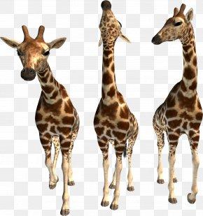 Giraffe - Northern Giraffe Bactrian Camel Animal PNG