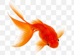 Goldfish - Comet Fantail Siamese Fighting Fish Pet PNG