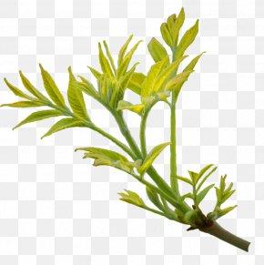 Branch Leaves - Branch Leaf Tree Image PNG