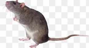 Mouse, Rat Image - Brown Rat Mouse Black Rat Ricefield Rat PNG