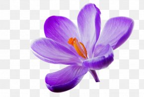 Lilac - Flower Lilac Wallpaper PNG