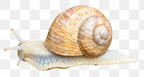 Snail - Snail Orthogastropoda Icon PNG