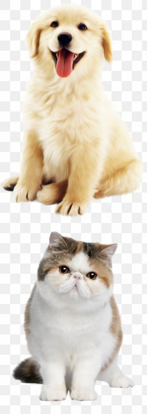Cute Little Golden Jiao Fei Cat - Golden Retriever Cat Pet Glove Leash PNG