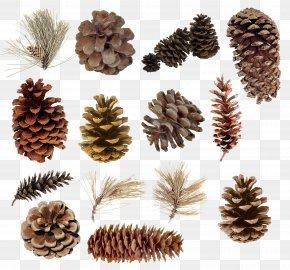 Pine Cone Material - Pine Conifer Cone Spruce Cedar Juniper PNG