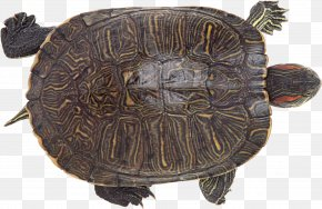 Turtle - Chinese Softshell Turtle Reptile Chinese Pond Turtle Photography PNG