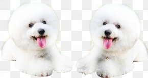 The Dog Of The Tongue - Bichon Frise Shar Pei Puppy PNG