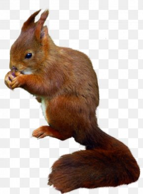 Squirrel - Tree Squirrel Rodent Red Squirrel Eastern Gray Squirrel PNG