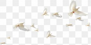 Bird - Rock Dove Homing Pigeon Bird Columbidae Flight PNG