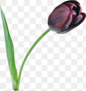 Tulip On Black Background Clip Art Free