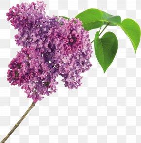 Lilac Flower - Lilac Flower Purple Clip Art PNG