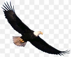Eagle Image Download - Bald Eagle Vulture Beak Fauna PNG