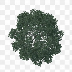 Tree Plan - English Oak Tree Architecture Pine Landscape PNG