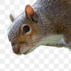 Squirrel - Fox Squirrel Image Laptop Personal Computer PNG