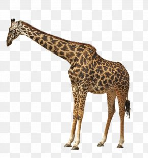 Northern Giraffe - Giraffe Cheetah Lion Animal PNG