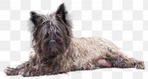 Cairn Terrier - Cairn Terrier Scottish Terrier Glen Affenpinscher Dog Breed PNG