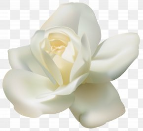 Beautiful White Rose Clipart Image - Arabian Jasmine Tea Clip Art PNG
