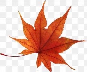 Autumn Leaf - Autumn Leaf Color PNG