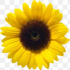 Sunflower - Common Sunflower Sunflower Seed PNG