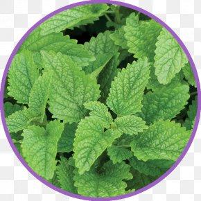 LEMONbalm - Lemon Balm Herb Seed Beefsteak Plant PNG