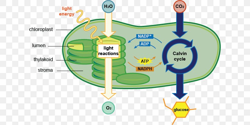 Photosynthesis Chloroplast Cell Diagram Chlorophyll, PNG ...