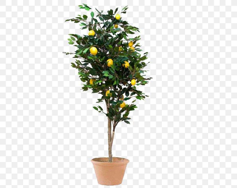Meyer Lemon Weeping Fig Tree Houseplant Png 650x650px Lemon Artificial Flower Bonsai Branch Calamondin Download Free