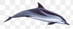 Dolphin Download - Short-beaked Common Dolphin Spinner Dolphin Common Bottlenose Dolphin Striped Dolphin Rough-toothed Dolphin PNG