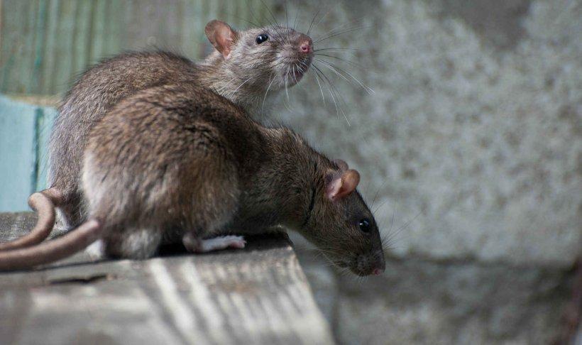 Brown Rat Rats In New York City Black Rat Rodent, PNG, 1800x1067px, Brown Rat, Black Rat, City, Contrapest, Degu Download Free