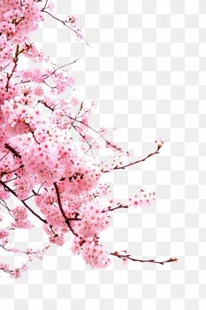 Cherry Blossoms - Cherry Blossom Cerasus PNG