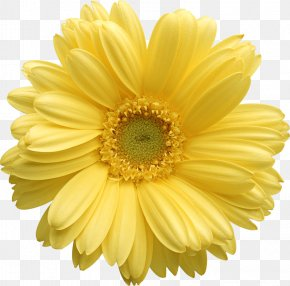 Yellow Gerber Daisy Clipart - Flower Yellow Stock Photography Clip Art PNG