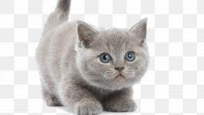 Kitten - Kitten Sphynx Cat Persian Cat British Shorthair Burmese Cat PNG