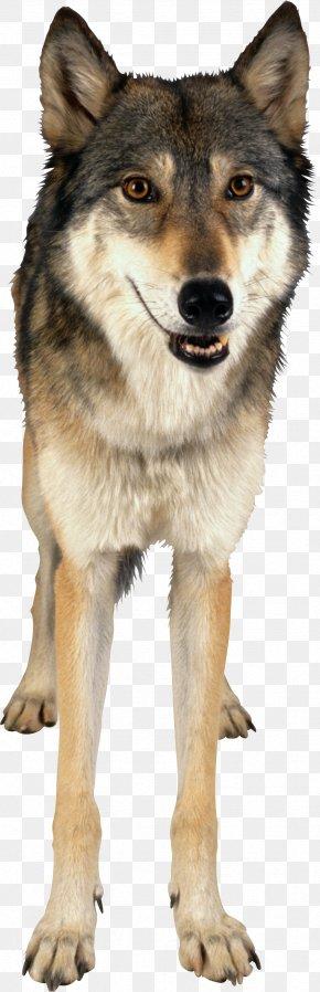 Wolf Image - Czechoslovakian Wolfdog Saarloos Wolfdog Kunming Wolfdog Gray Wolf PNG