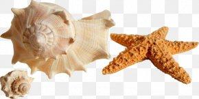 Summer Weather - Seashell Shore Mollusc Shell Conch Bivalvia PNG
