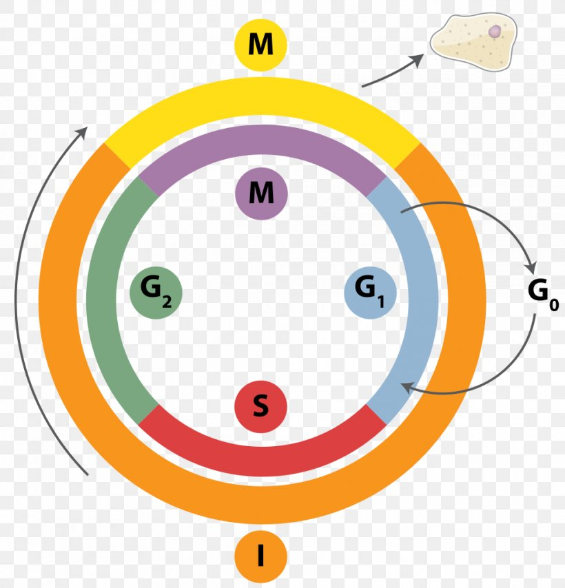 Cell Cycle Dna Replication Mitosis Interphase Png